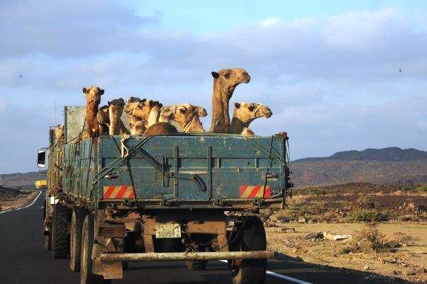 Meet the camels
